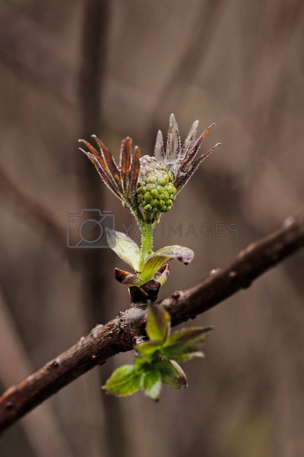 Royalty free image of First leaves of spring by dtma