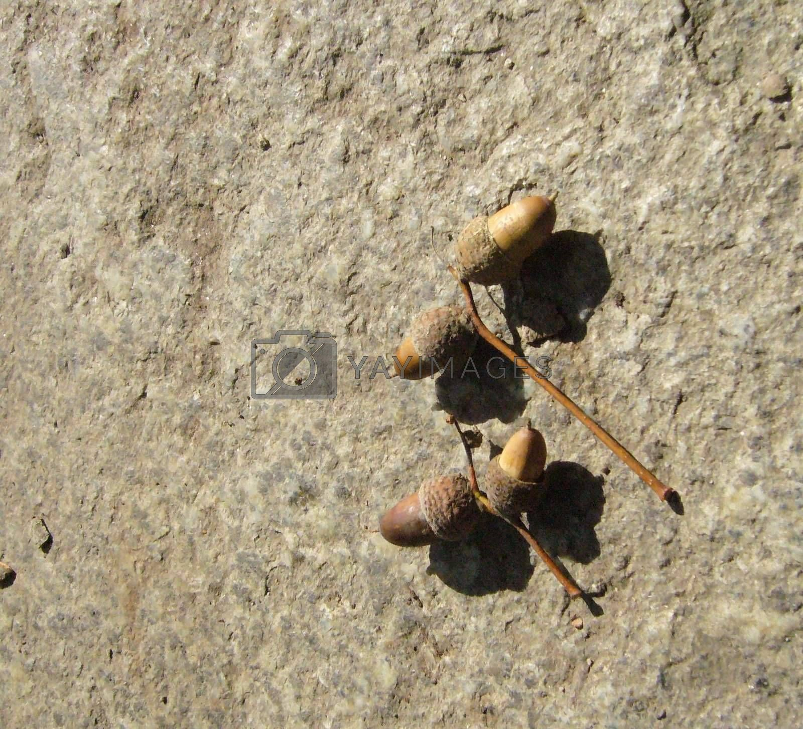 Royalty free image of The acorns by Amica