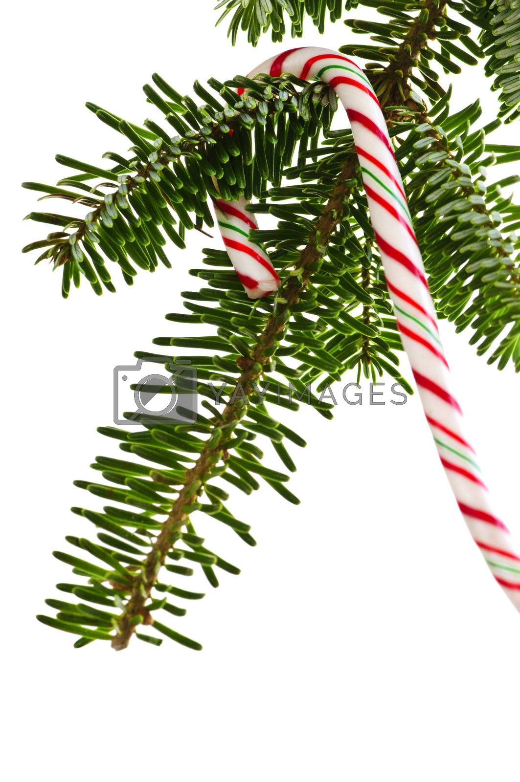 Royalty free image of Candy cane on tree by elenathewise
