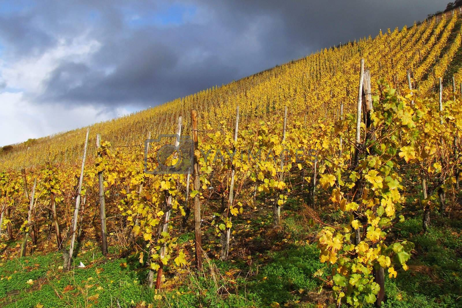 Royalty free image of Vineyard in sunshine by azurin