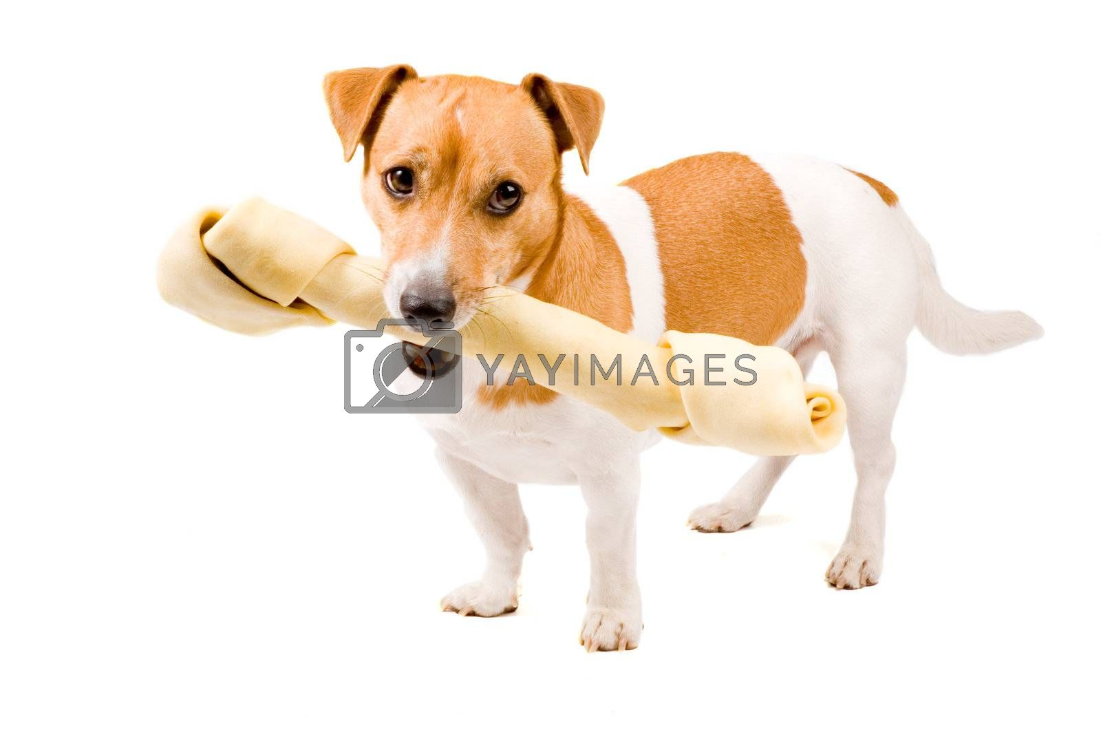 Royalty free image of cute jack russel is holding a big bone by ladyminnie