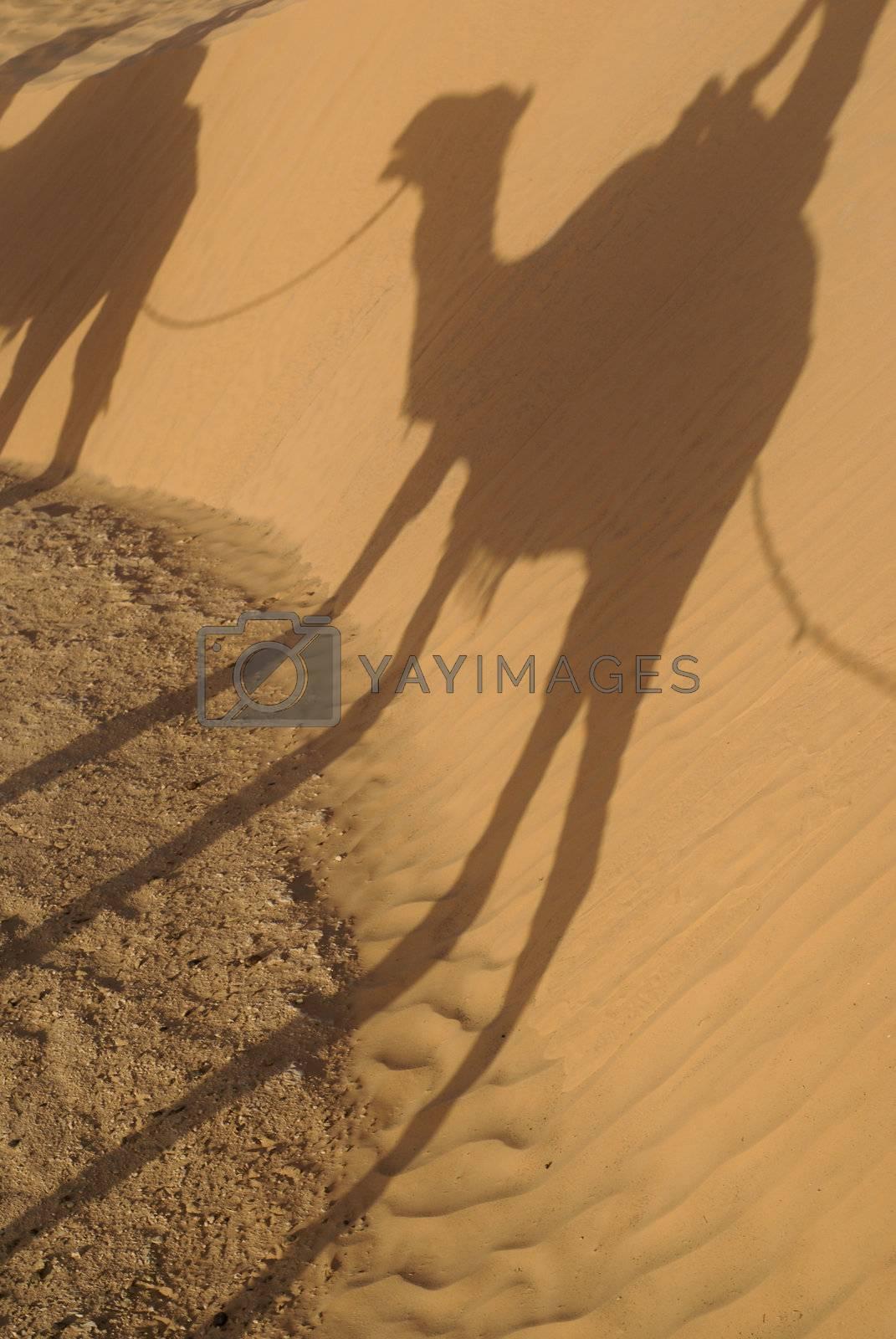 Royalty free image of Dromedary in Sahara by mimocas29