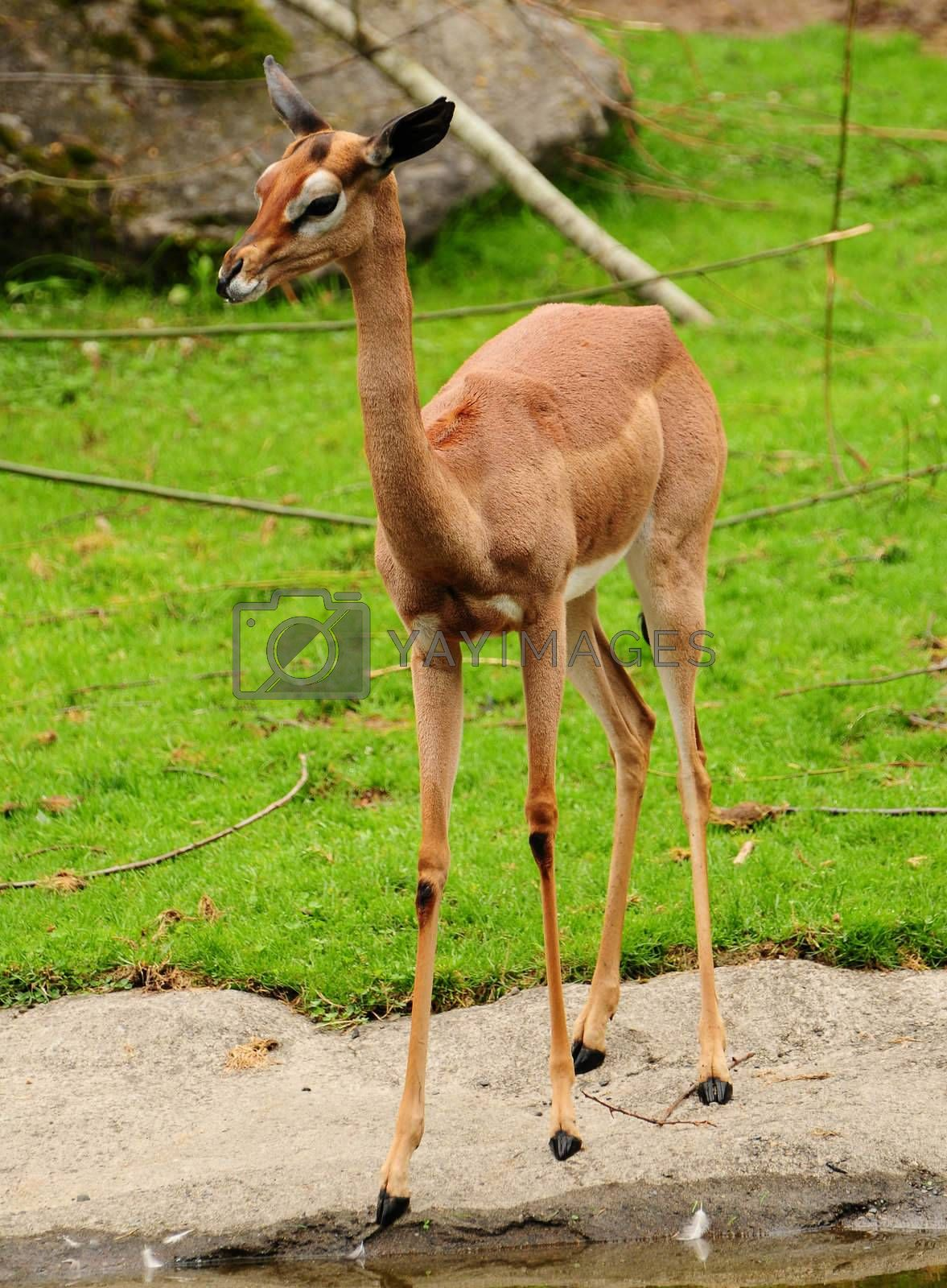 Royalty free image of Gazelle by neelsky
