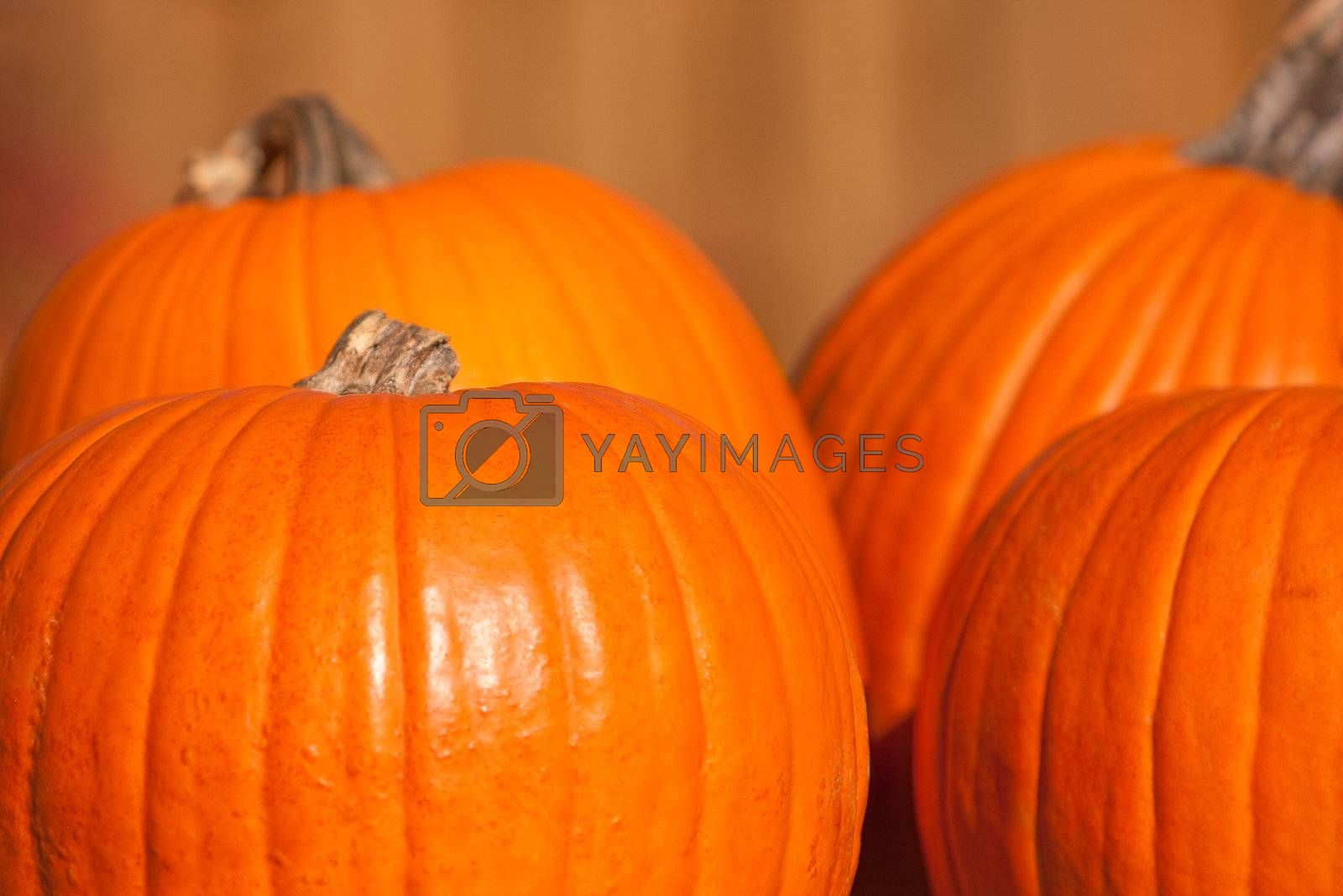 Royalty free image of Four large orange pumpkins by svanblar