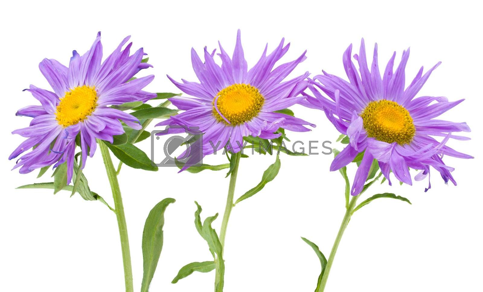 close-up three violet asters, isolated on white