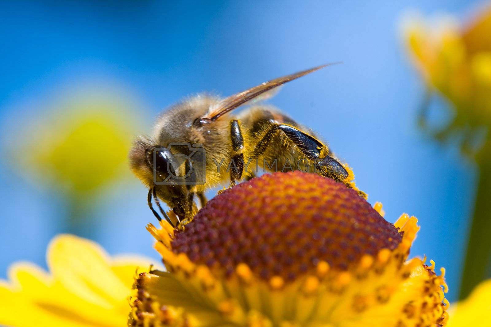 close-up a small bee collect nectar on blue sky background