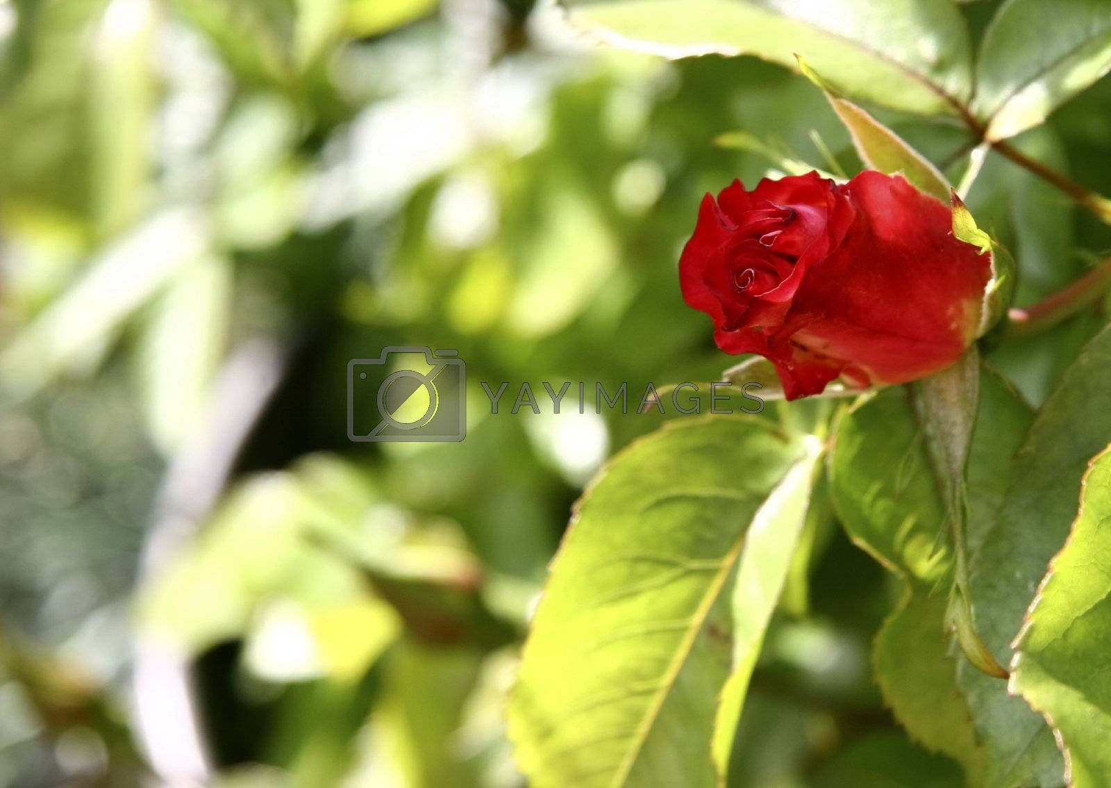 single red rose bud waiting to burst open