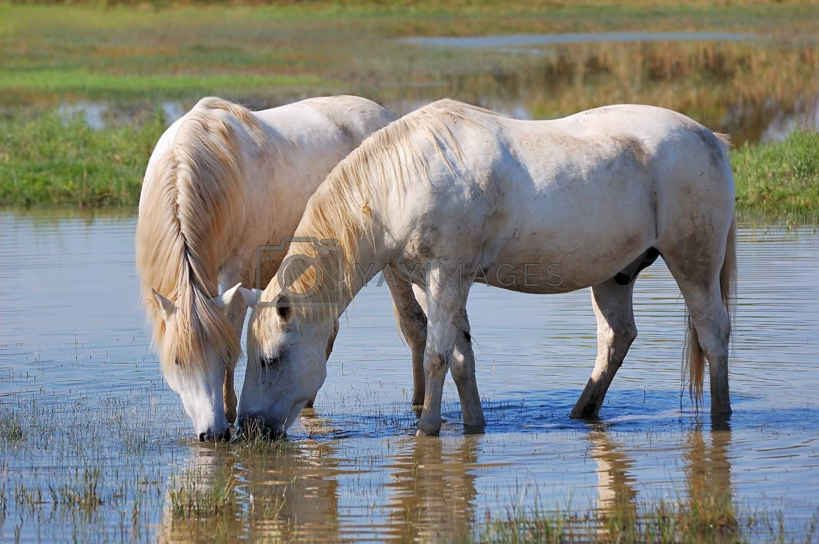 Couple of horses drinking water in a pond