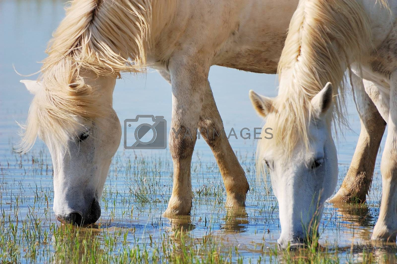 Detail of two horses drinking water