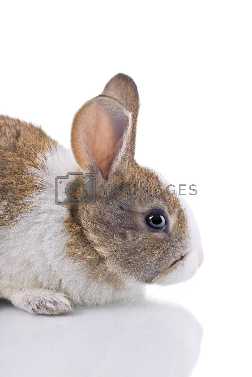Royalty free image of Bunny by ajn