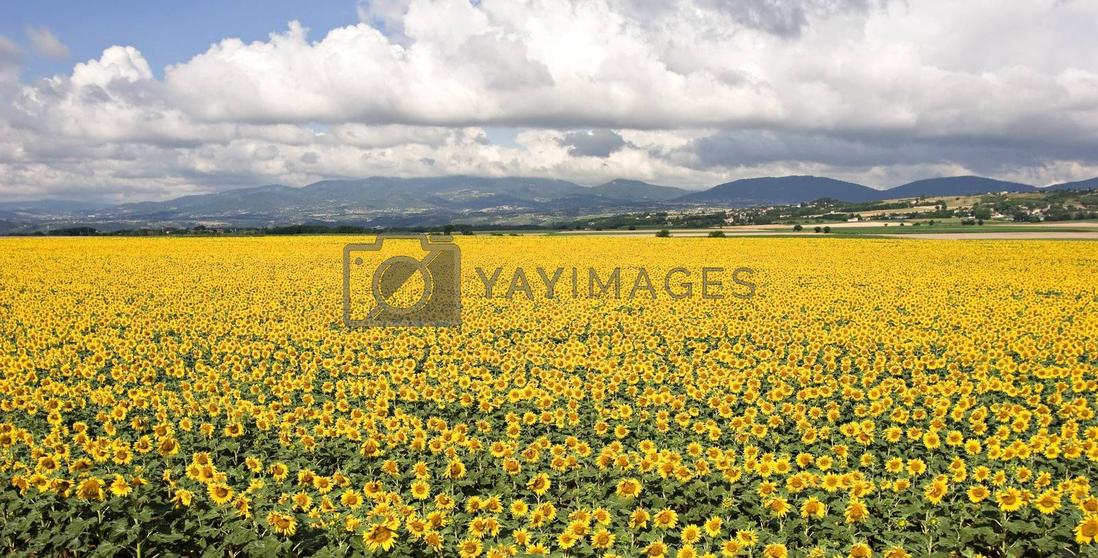 A beautiful field of sunflowers, in the south of France.