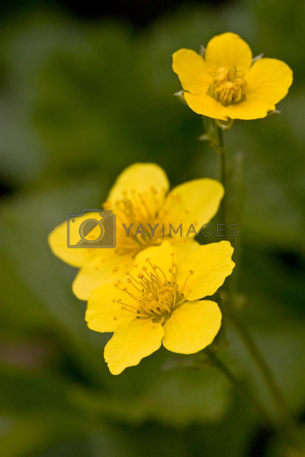 Three yellow flowers on a natural green background. Shallow depth of field.