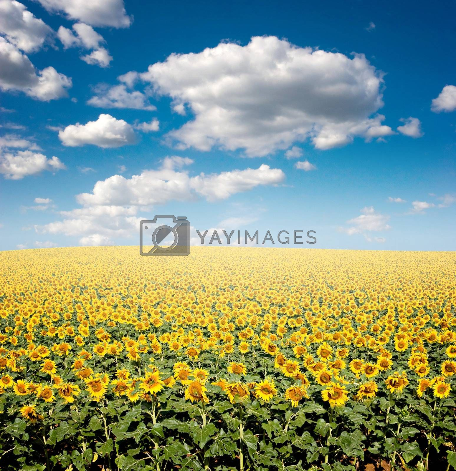 Bright yellow sunflower field with deep blue sky and fluffy clouds.
