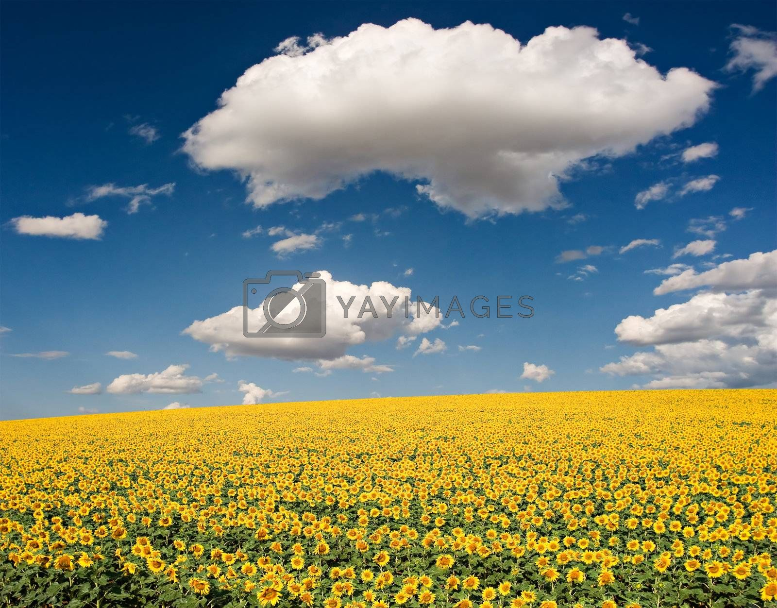 Bright yellow sunflower field with deep blue sky and fluffy clouds in the south of France.