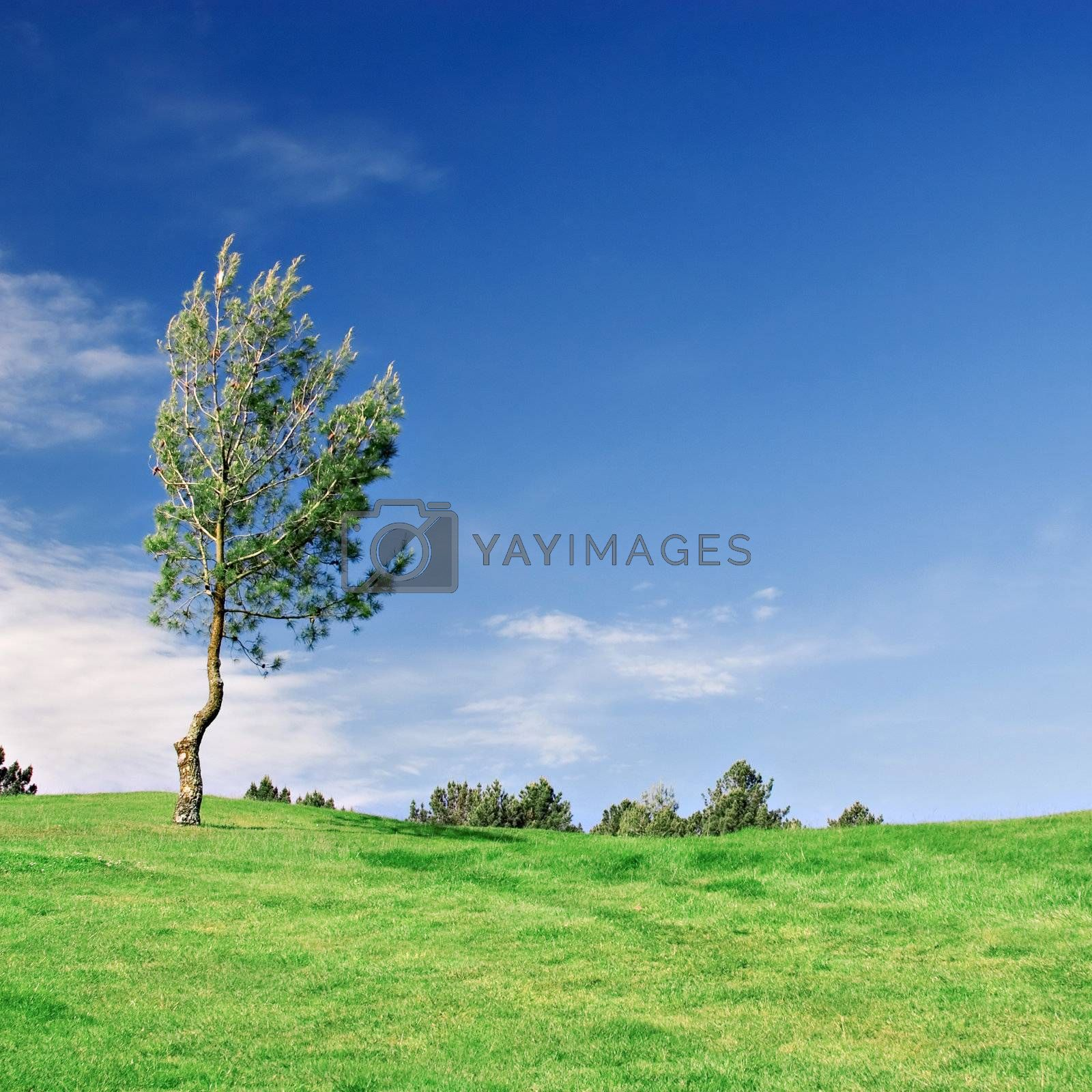 Royalty free image of Pine Tree on green field by ajn