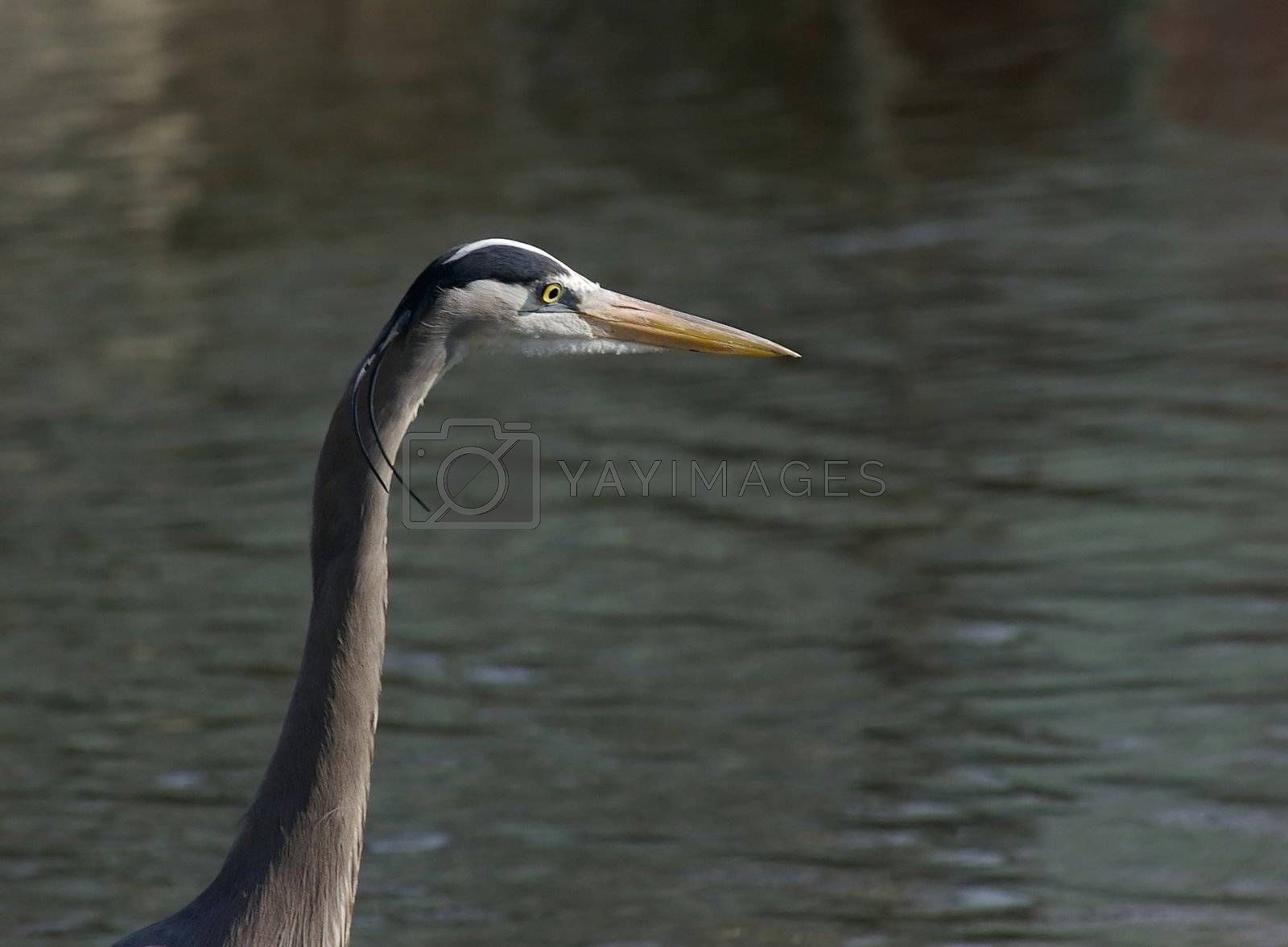Great Blue Heron with mating plumage against a water background