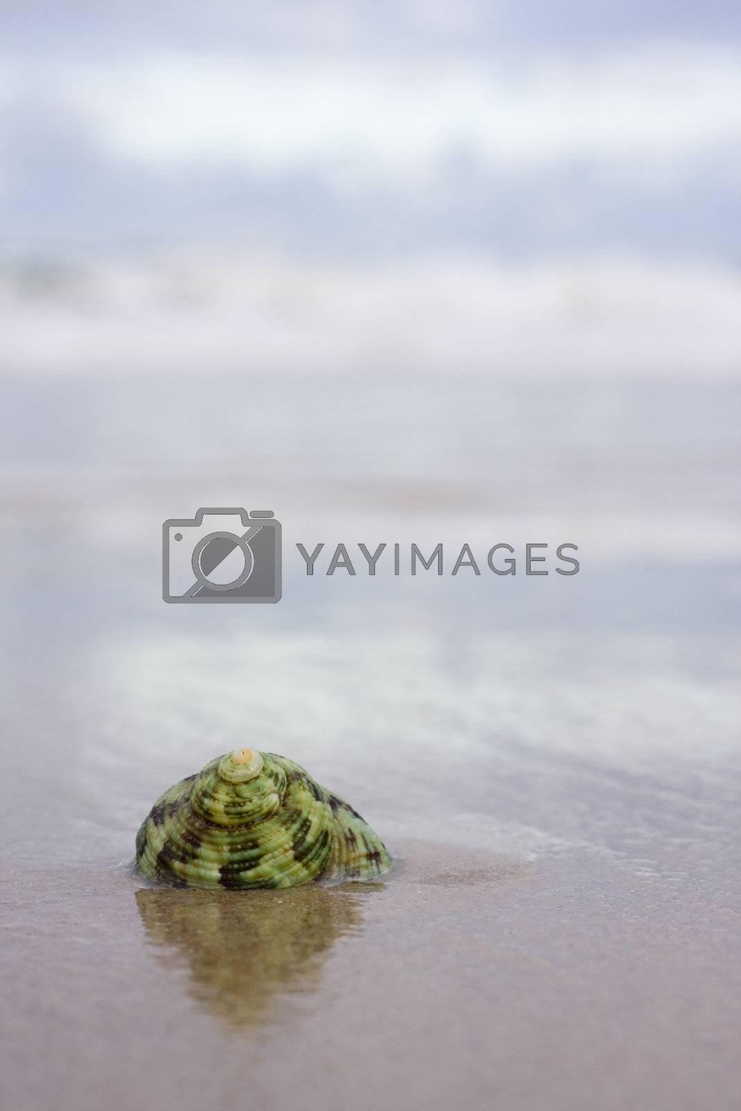 Green shell on a wet beach in summer