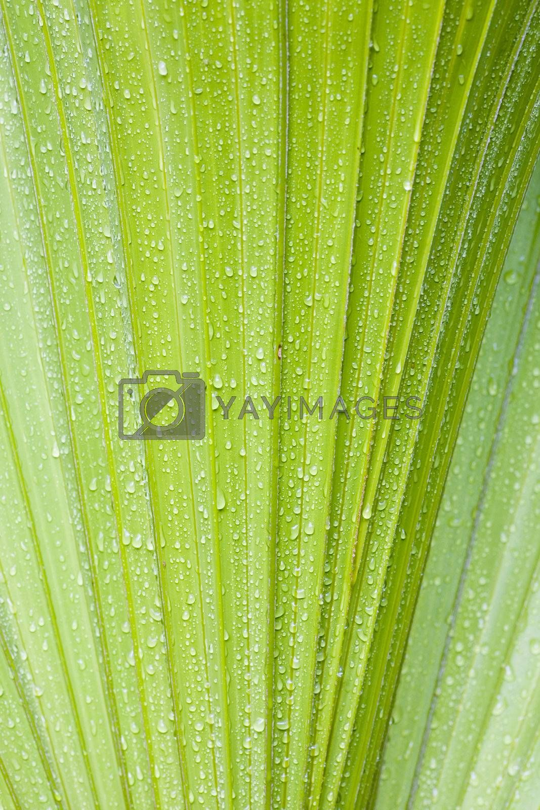 Water drops on a leaf of a palmtree