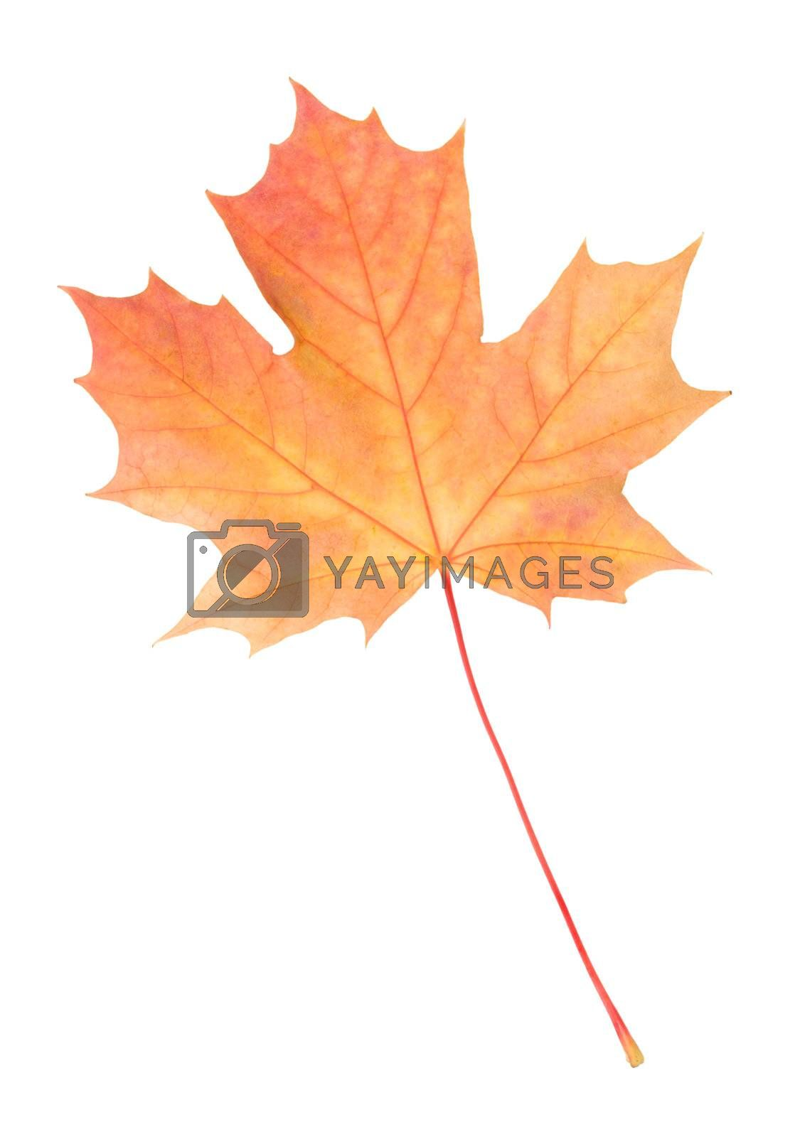 close-up fallen yellow maple leaf by Alekcey