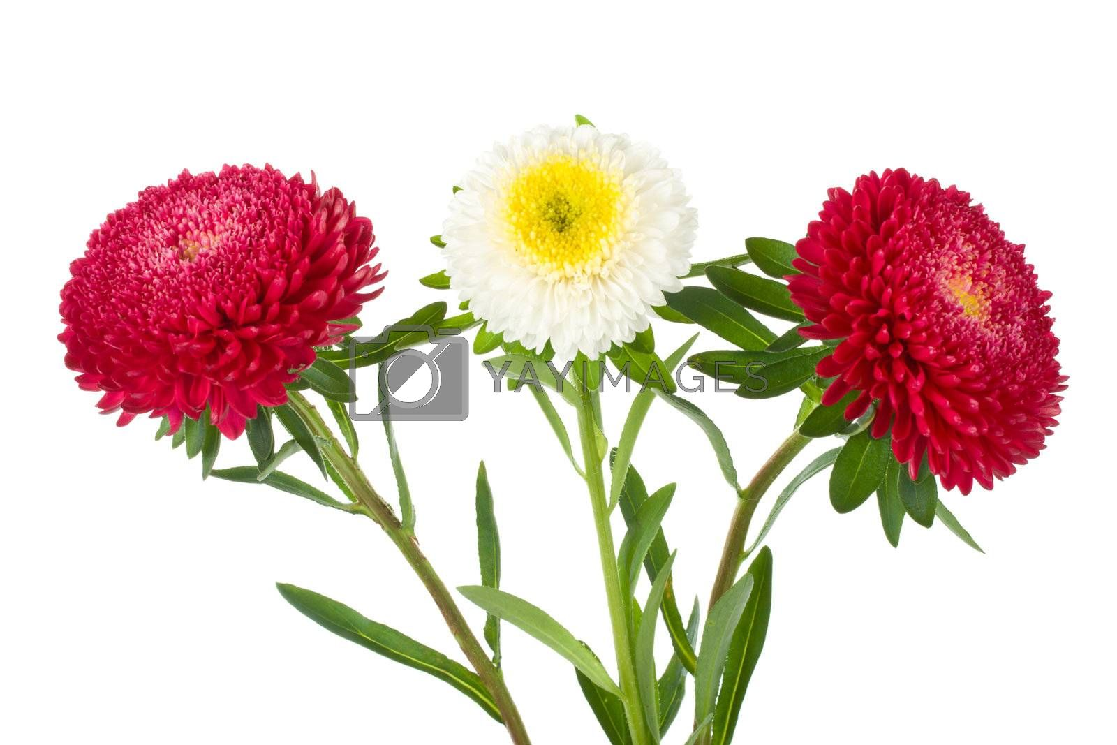 close-up three red and white asters isolated