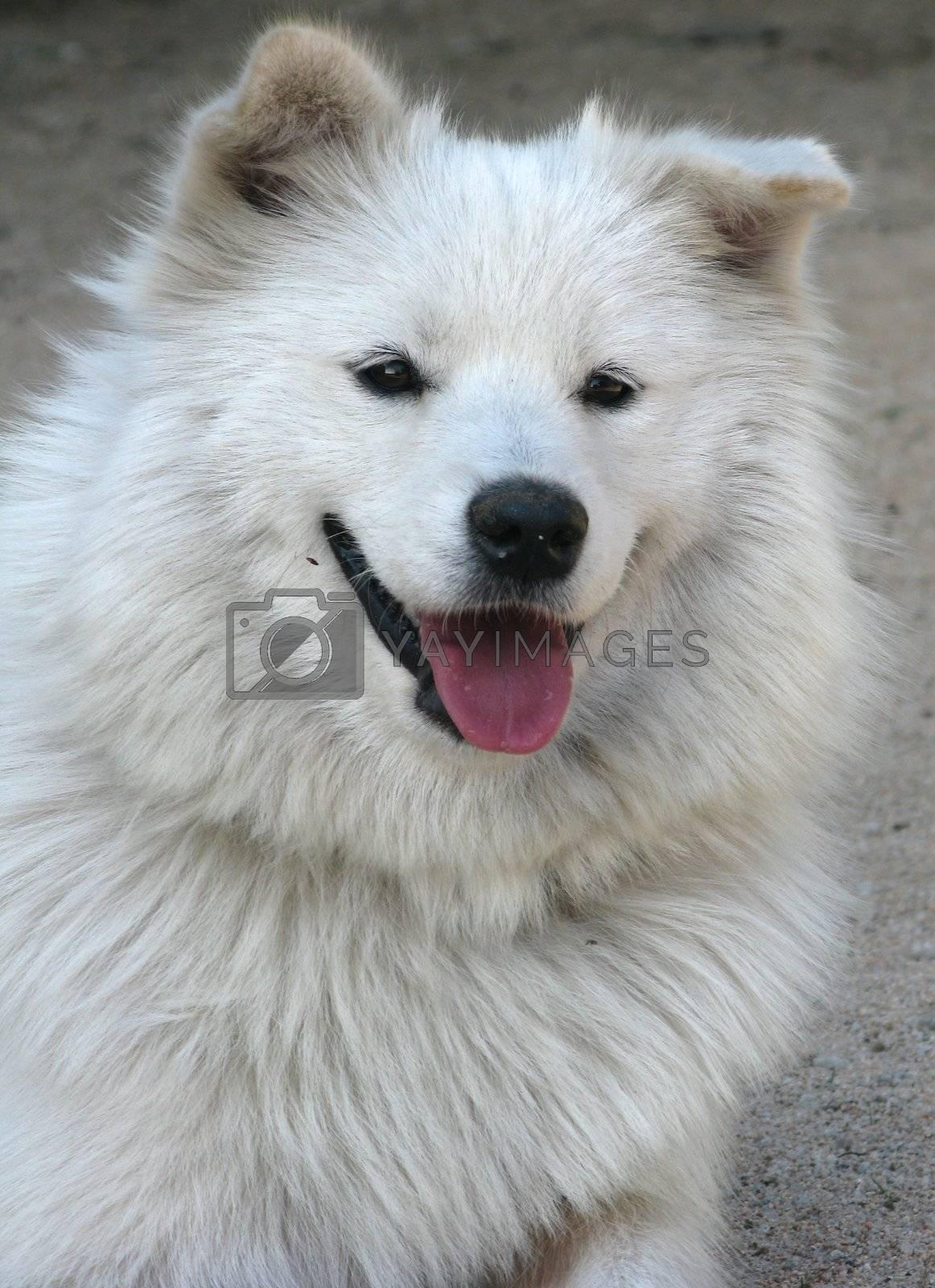 Samoyed dog one year old