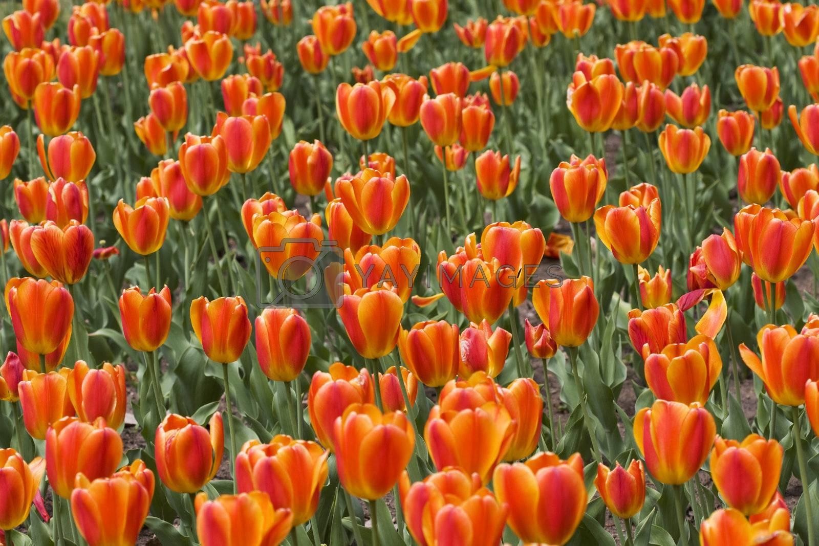Beautiful orange tulips in a garden in springtime