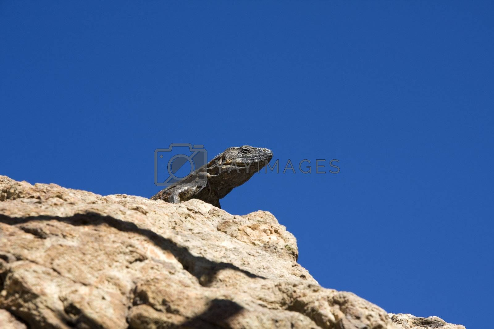 Photo of a grey iguana from under with clear blue sky on background