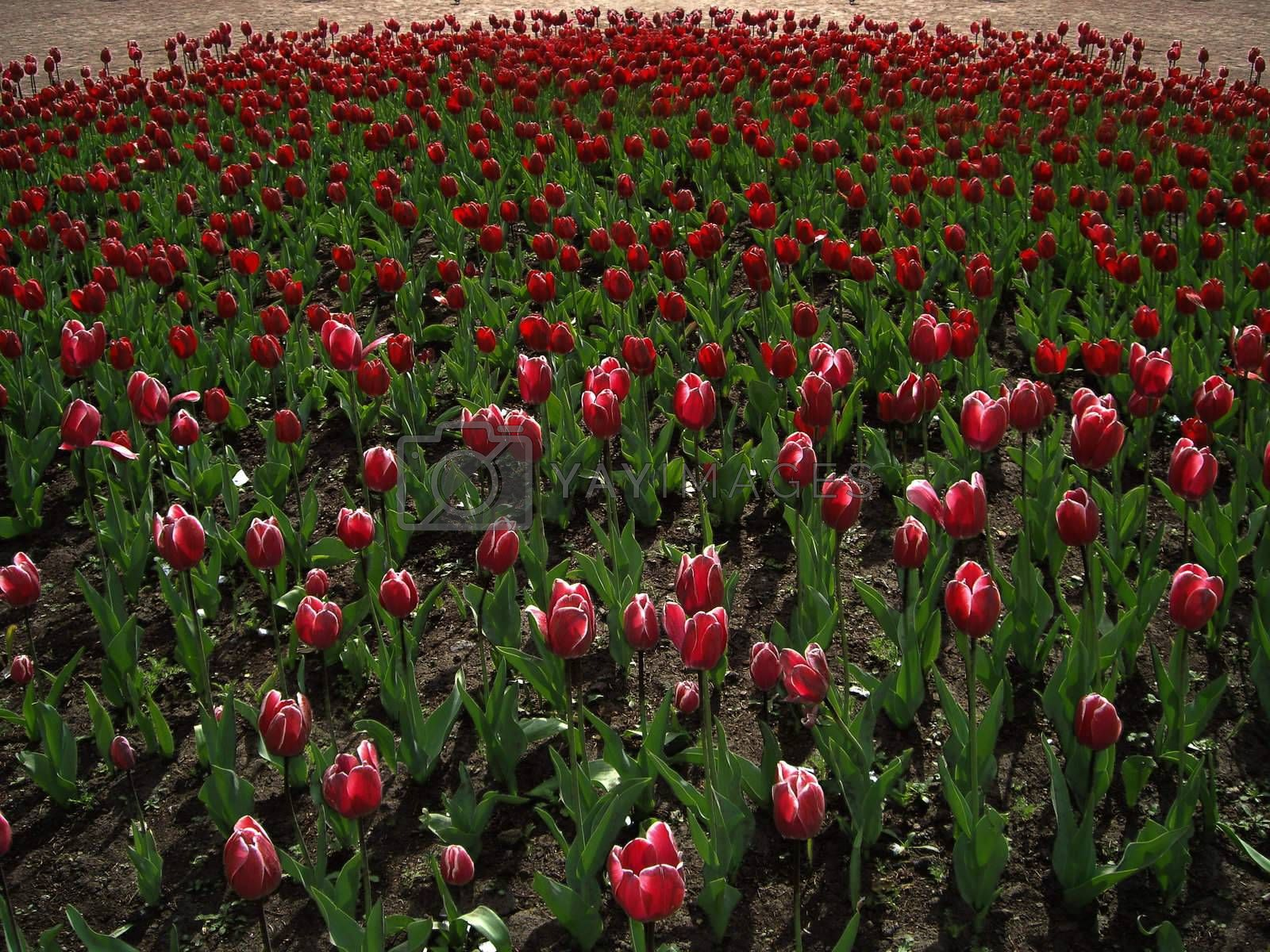 The flower bed consisting of red tulips