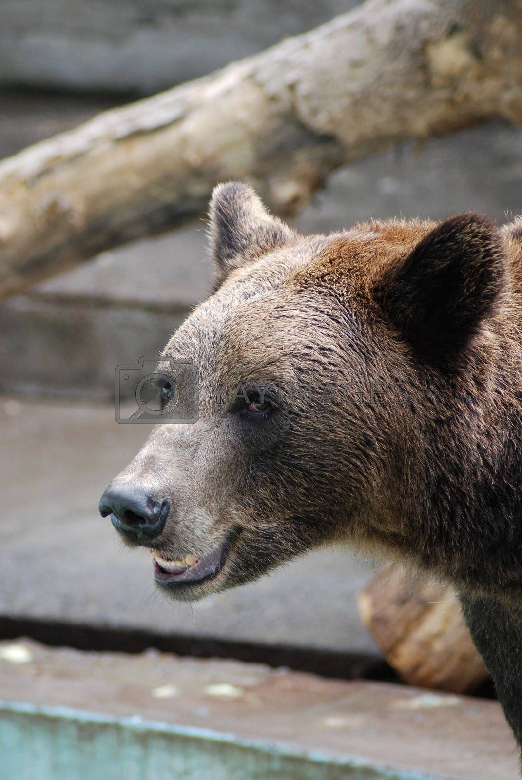Portrait of a brown wild bear