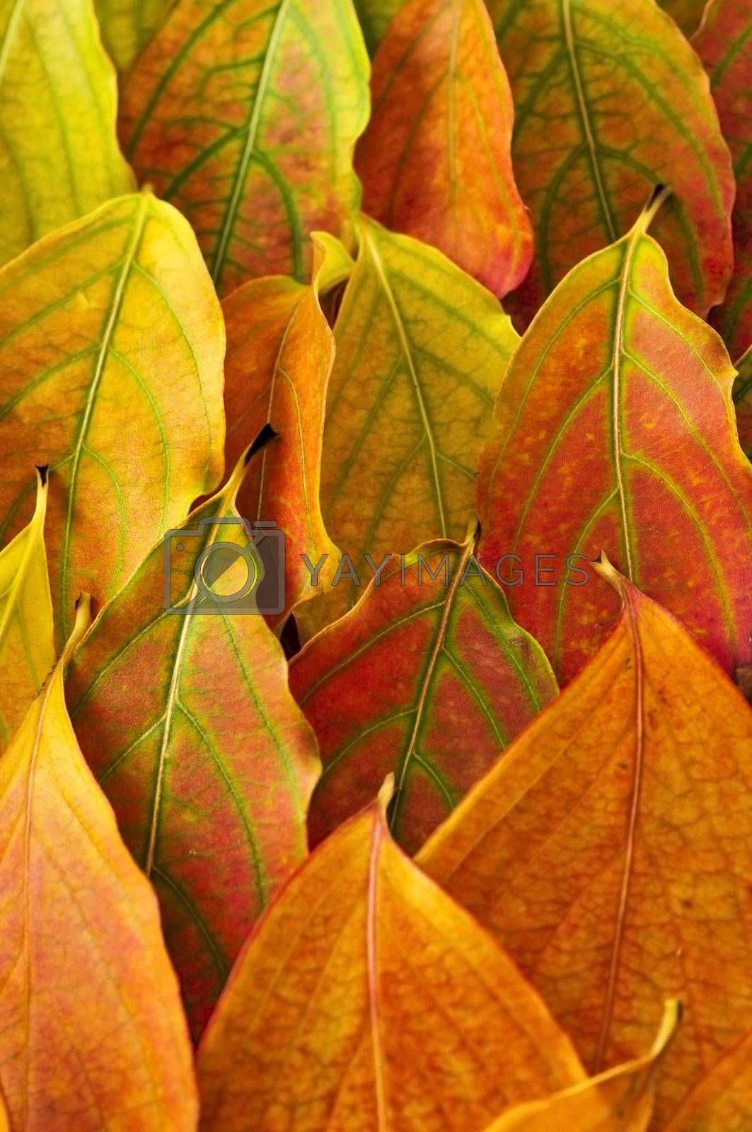 Colorful fall background of arranged autumn leaves