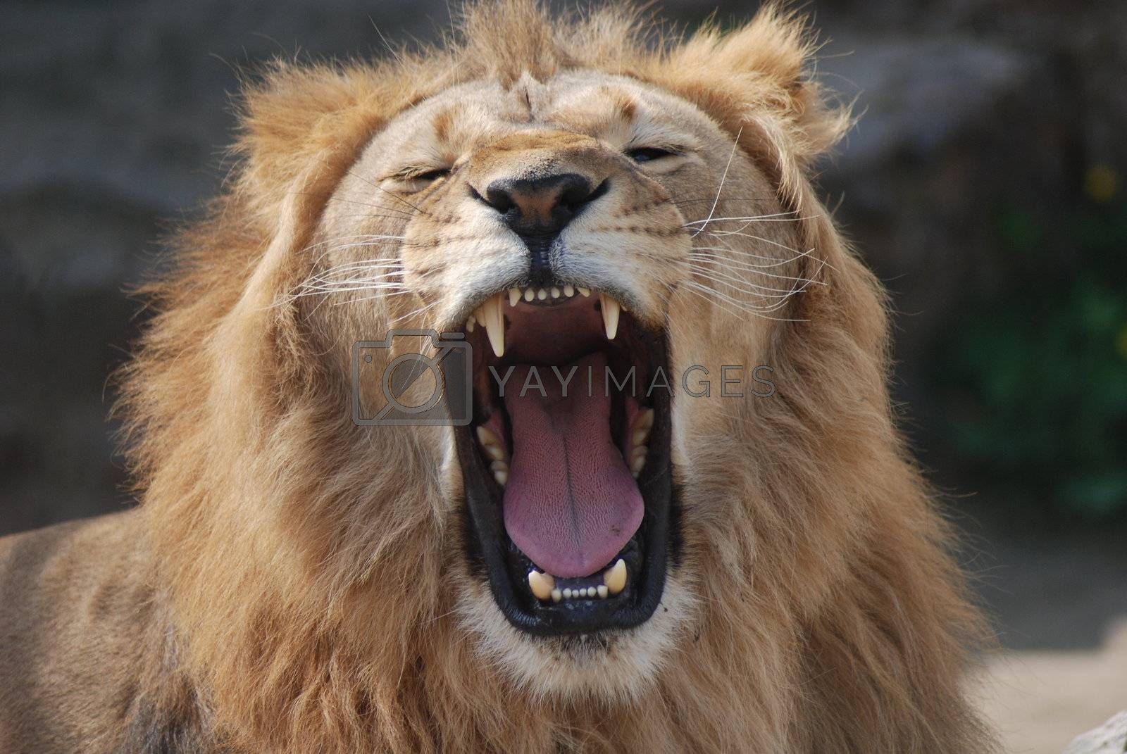 Head of a wild lion close up