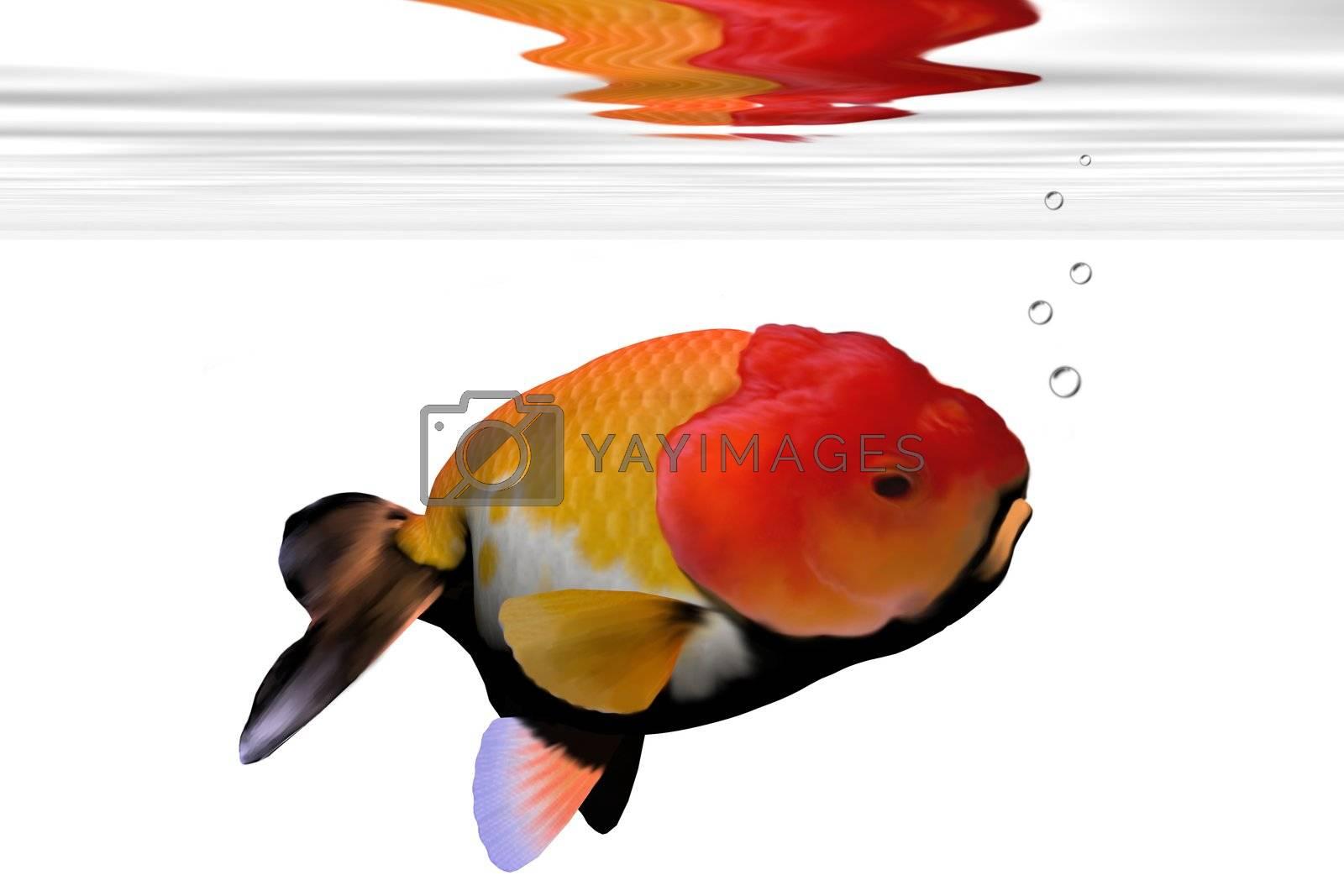 Peculiar face on this aquarium goldfish.