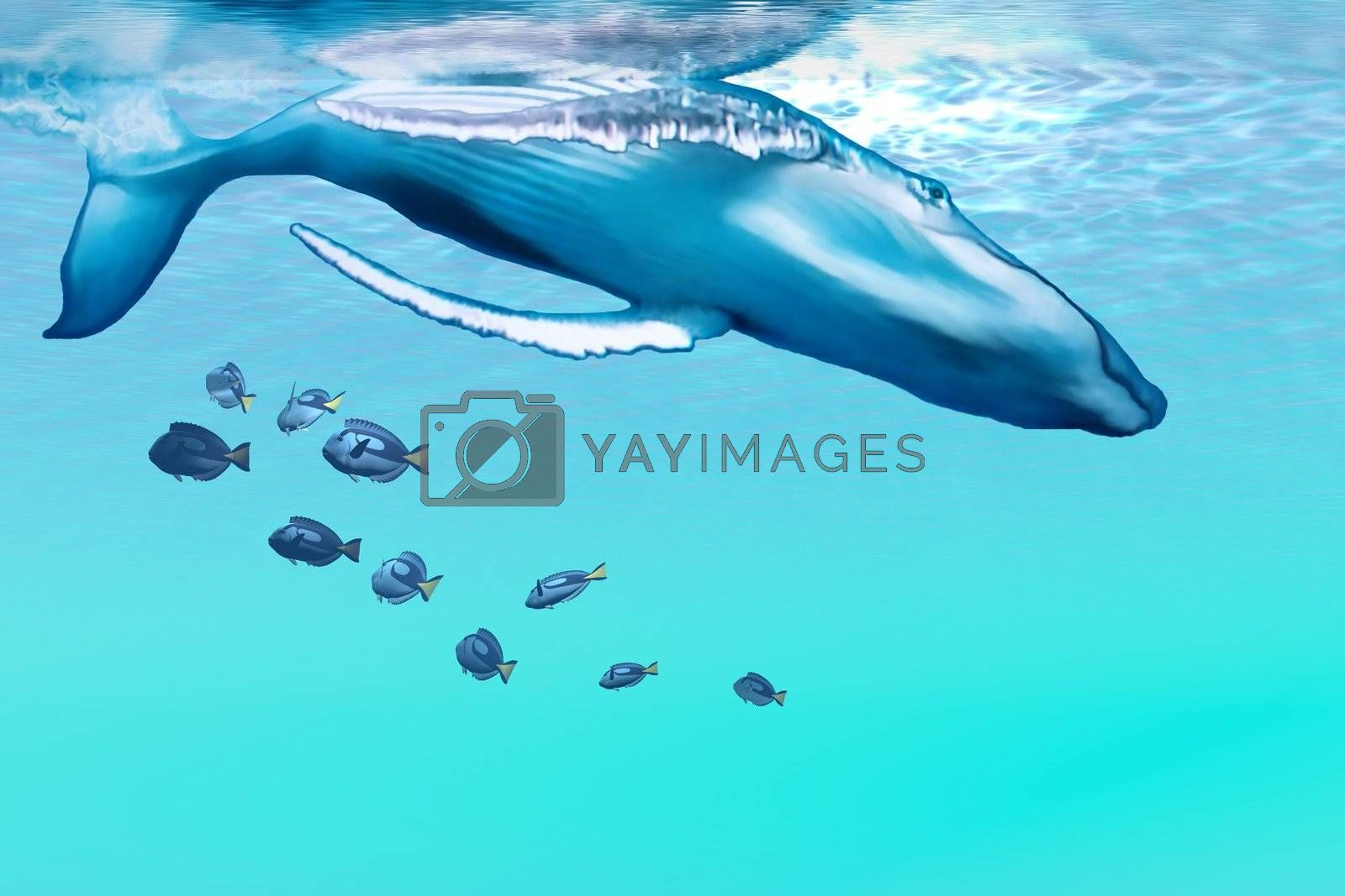 A Humpback whale dives into the blue ocean.