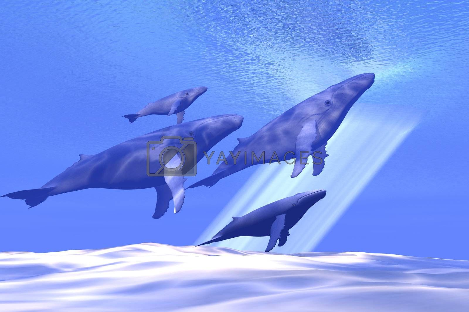A group of whales head toward the surface for a breath of fresh air.