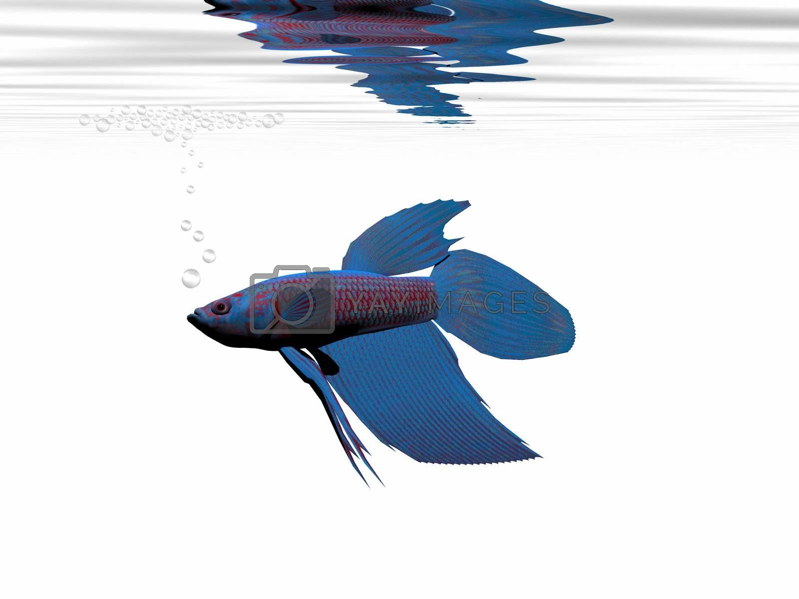 Royalty free image of BLUE BETTA by Catmando