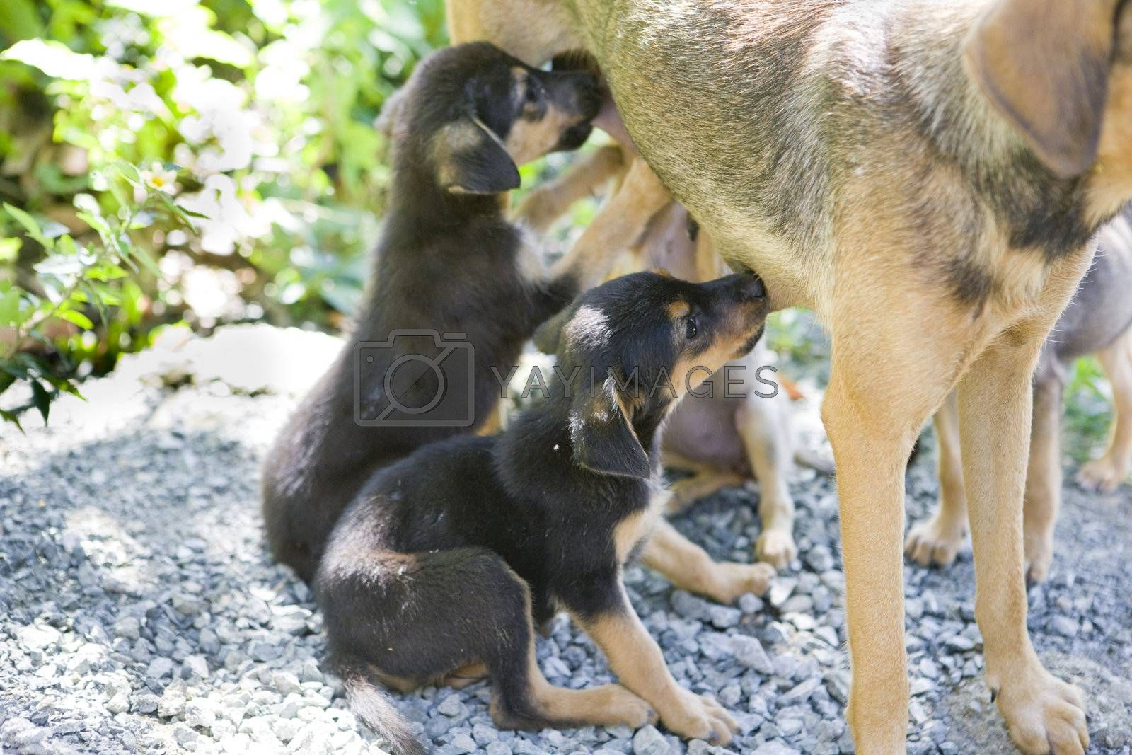 female dog''s detail with puppies, Tobago
