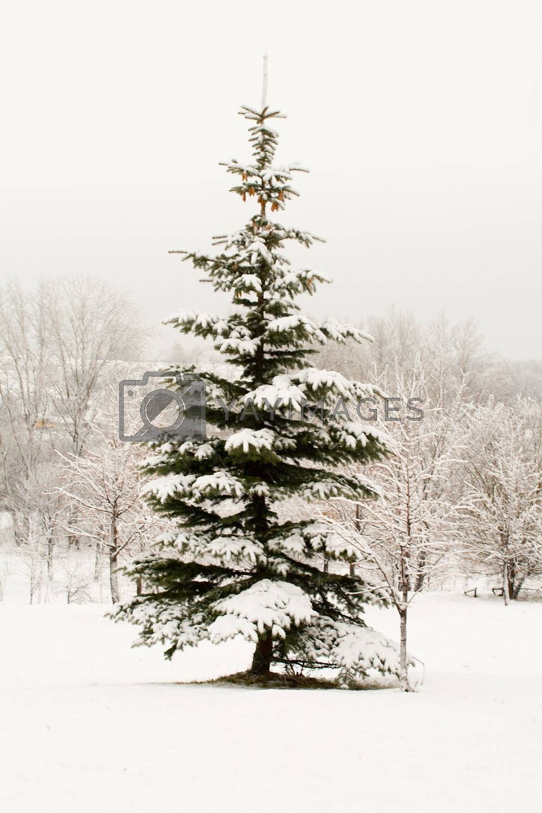 lonely fir tree covered with snow by Alekcey