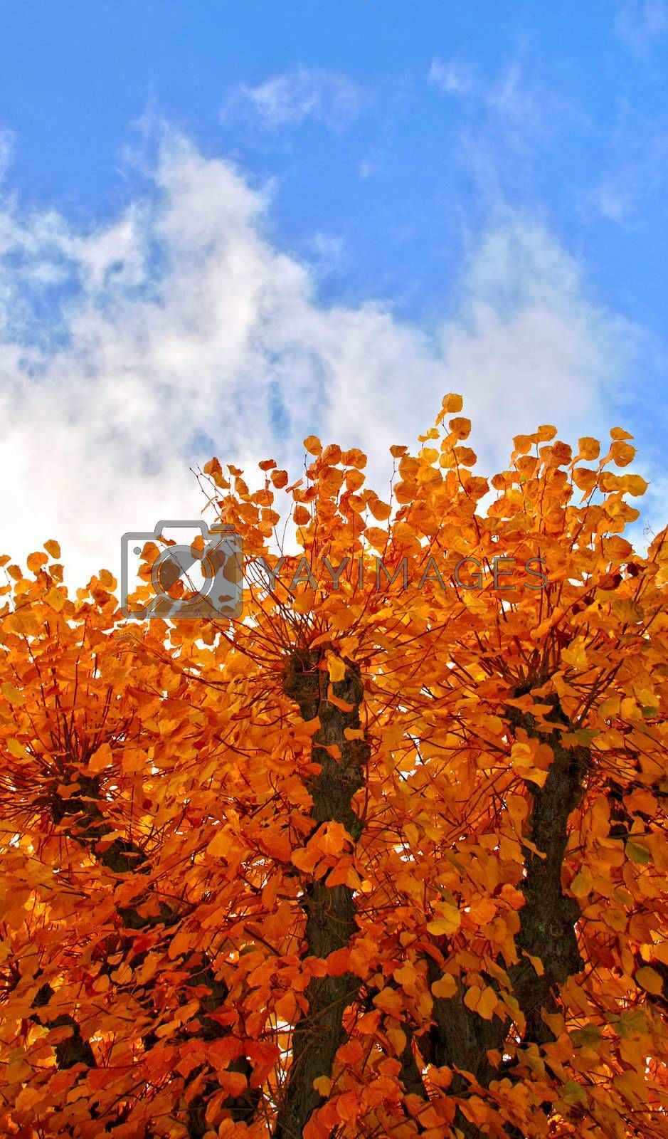 Golden trees on background of blue sky