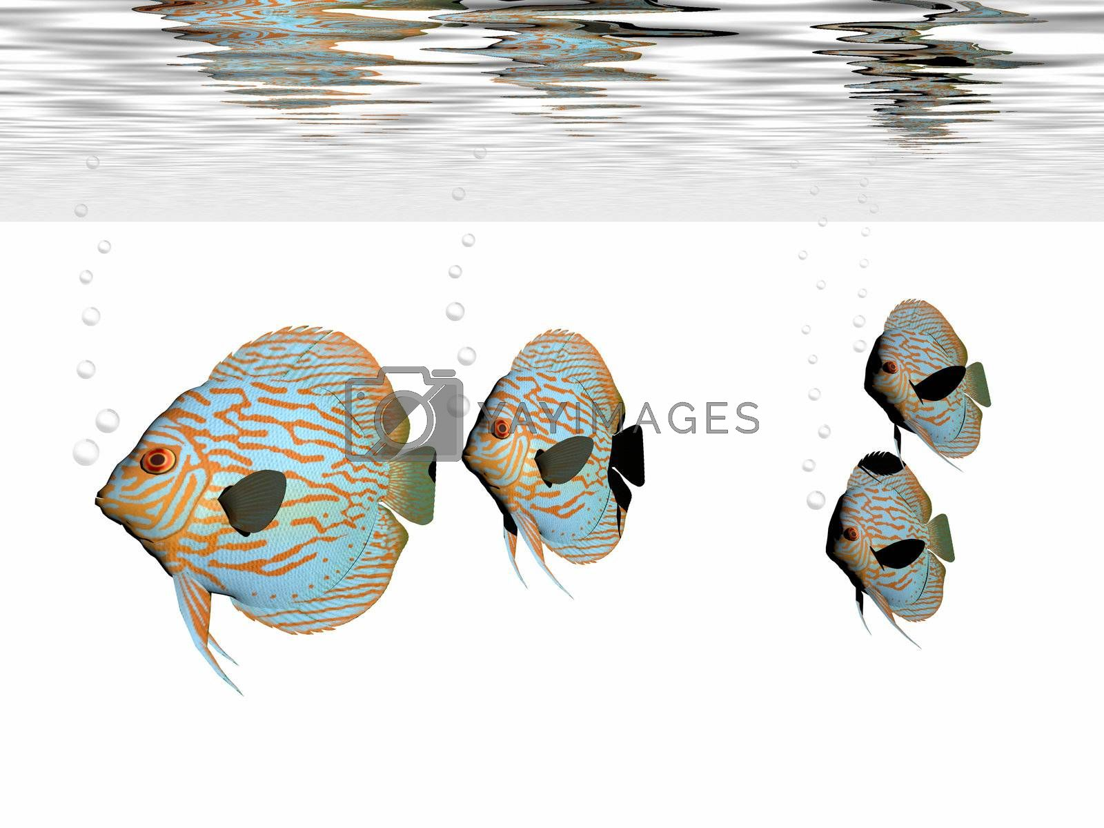Royalty free image of DISCUS FISH by Catmando