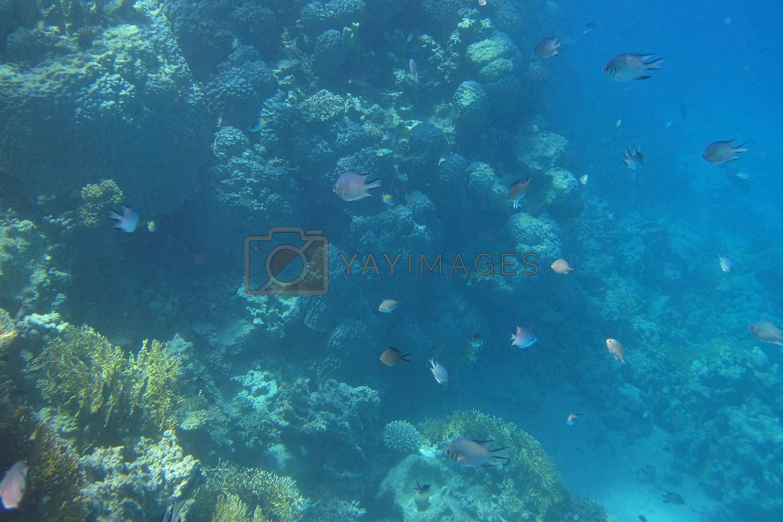 many fish in the sea and dive in egypt
