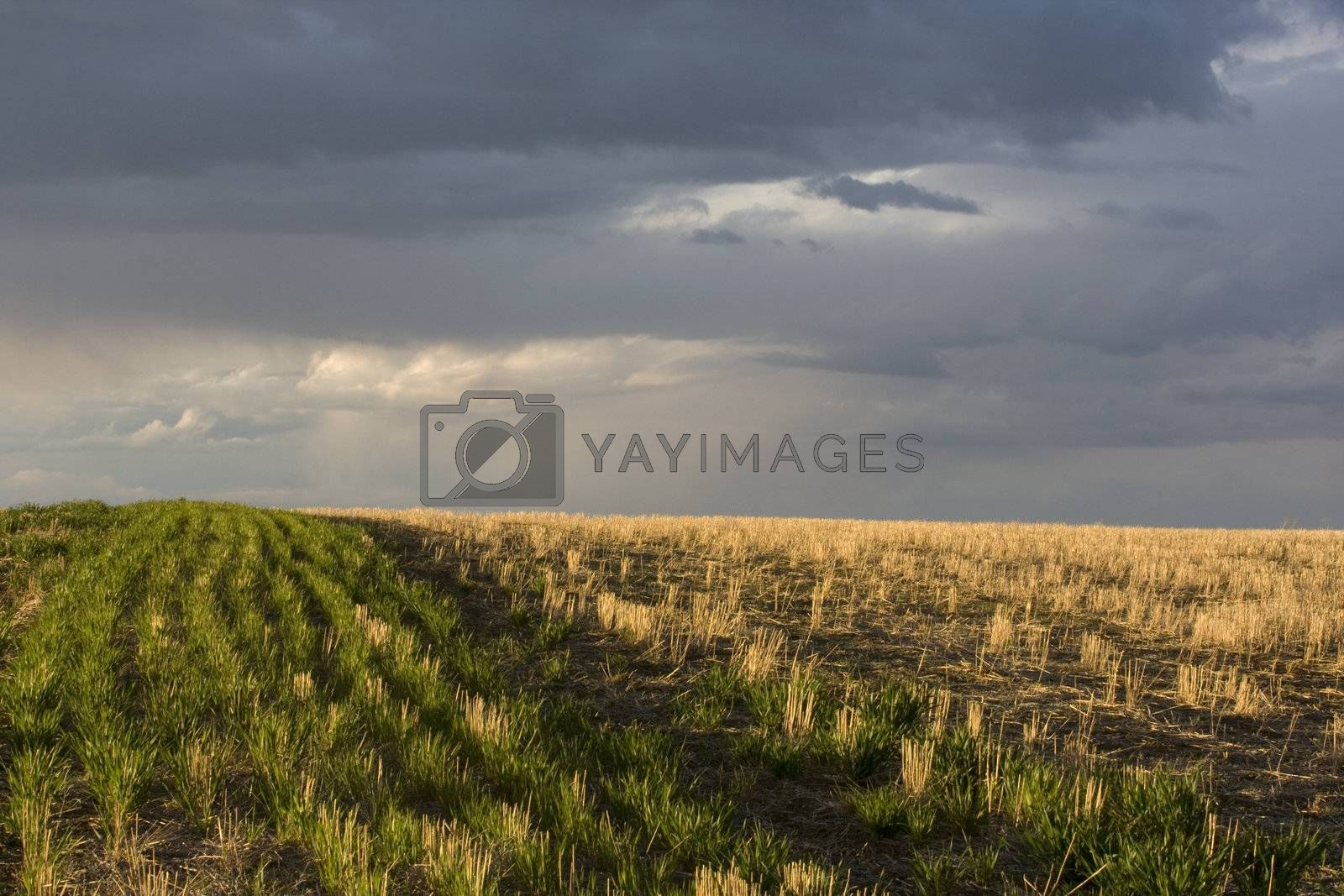 wheat field after harvest and a stormy sky near Colorado foothills