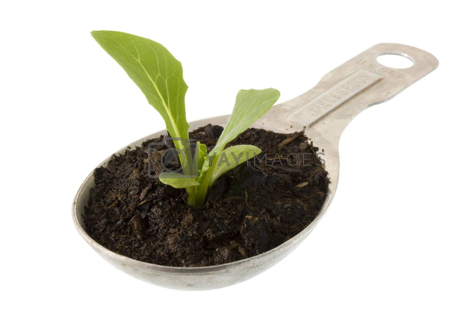 new plant of lettuce growing on a measuring tablespoon isolated on white, clipping path included