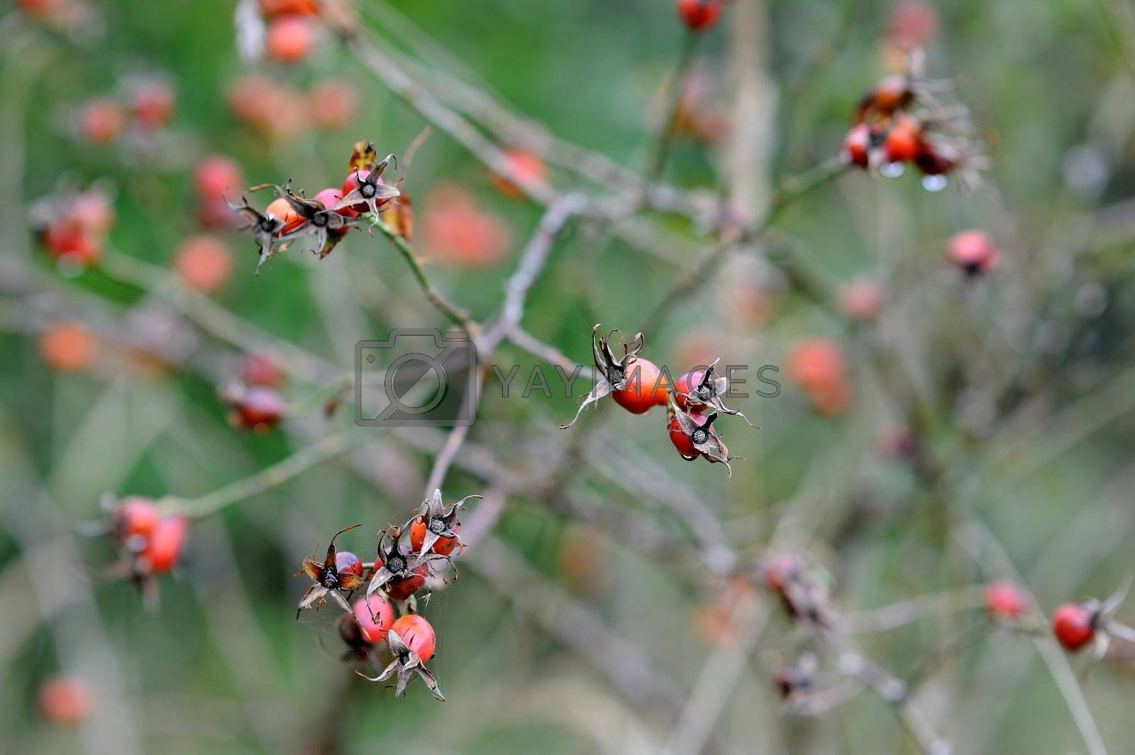 A branch of wild rose hips