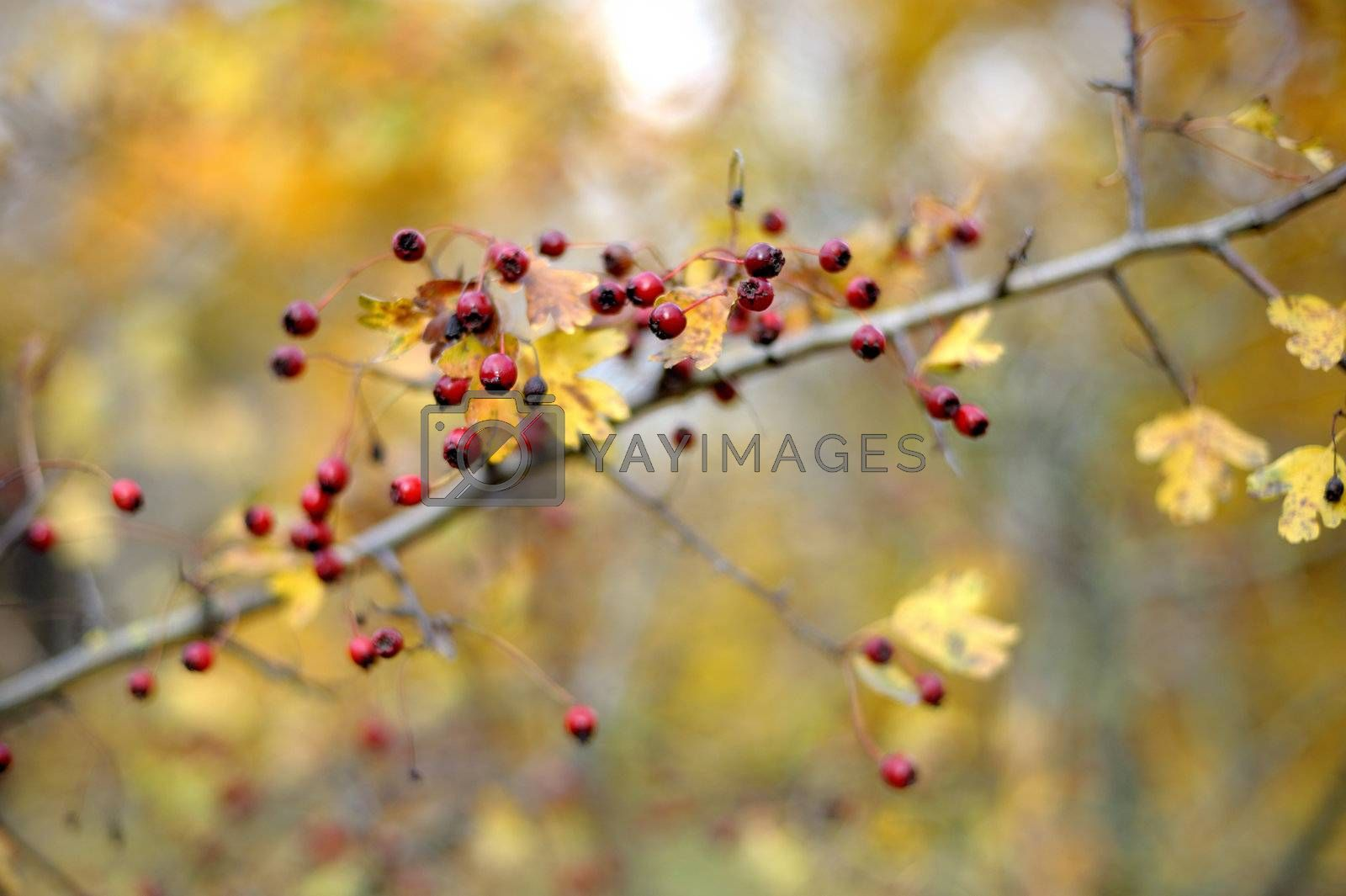Branch with hawthorn berries and yellow leaves