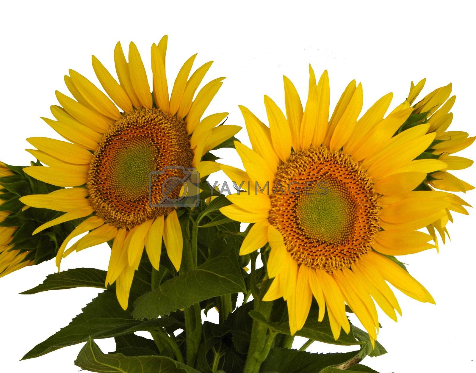 Group of sunflowers on a white background