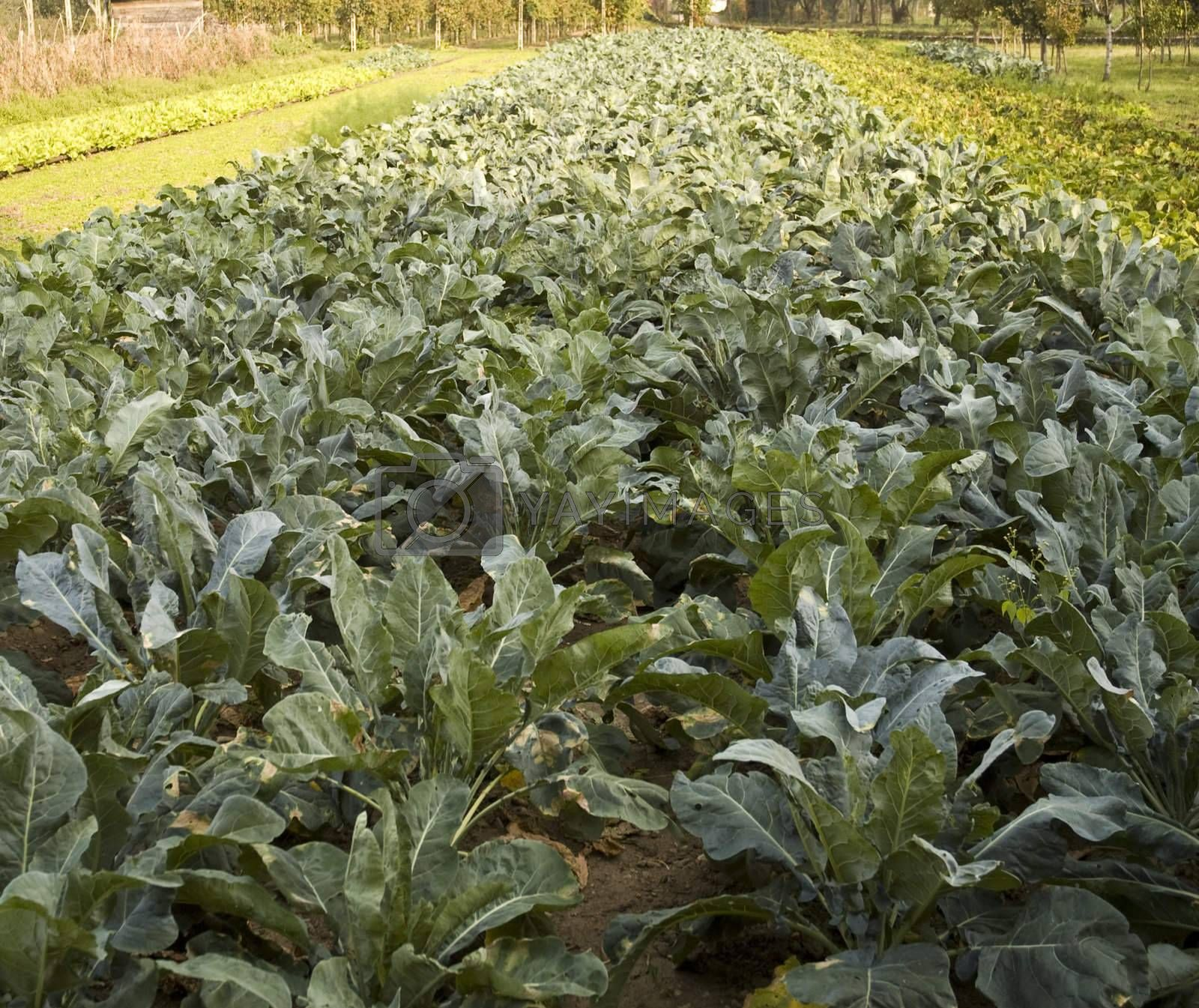 Cultivation of spinach in a vegetable garden
