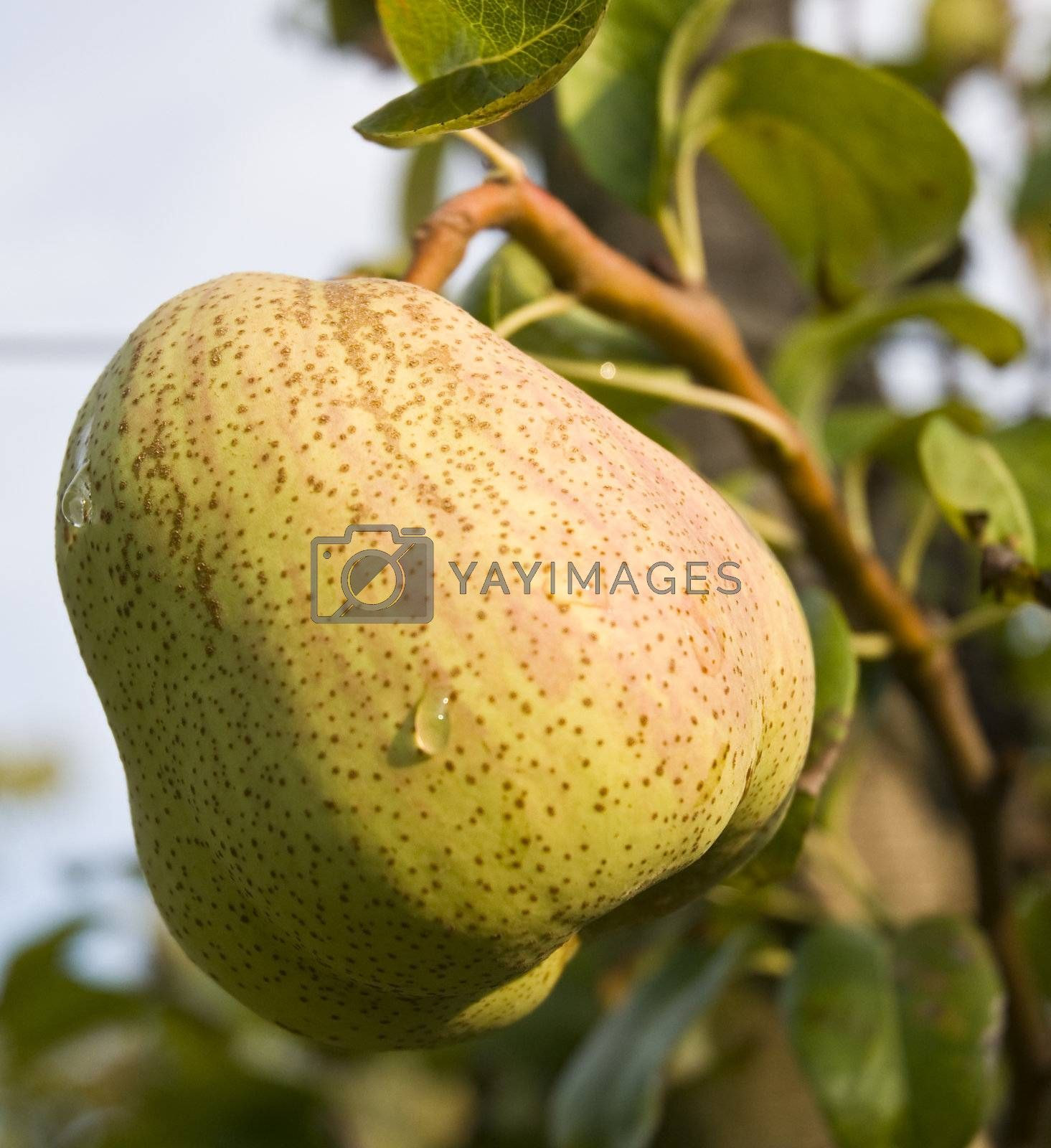 Pear on a tree and drops of dew