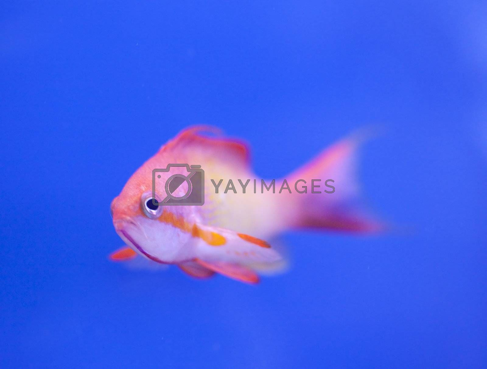 tropical animal in a salt water fish tank aquarium under water. Flash light can kill the animals so the photo was taken with available lights and reflectors