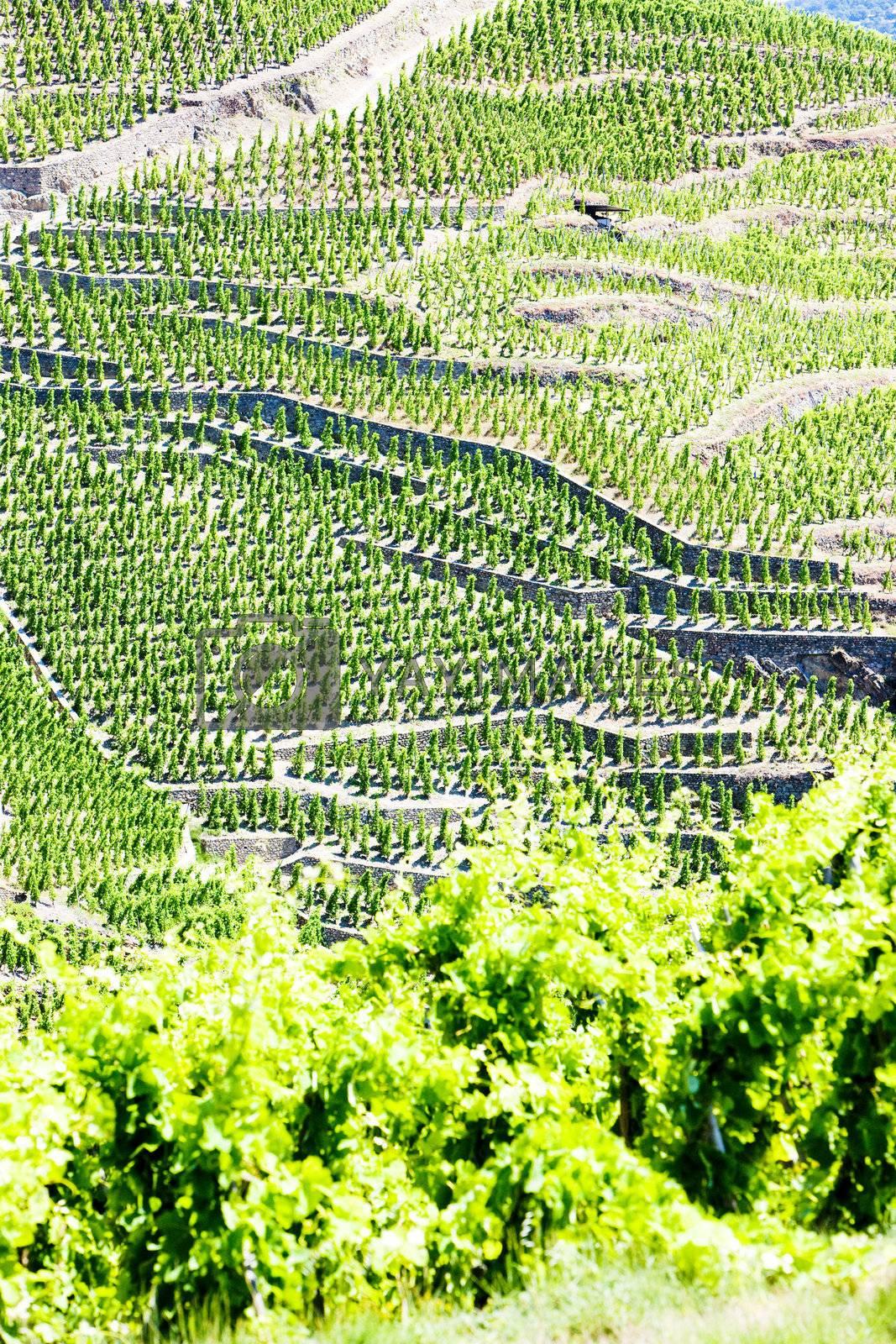 grand cru vineyards, Cote Rotie, Rhone-Alpes, France by phbcz