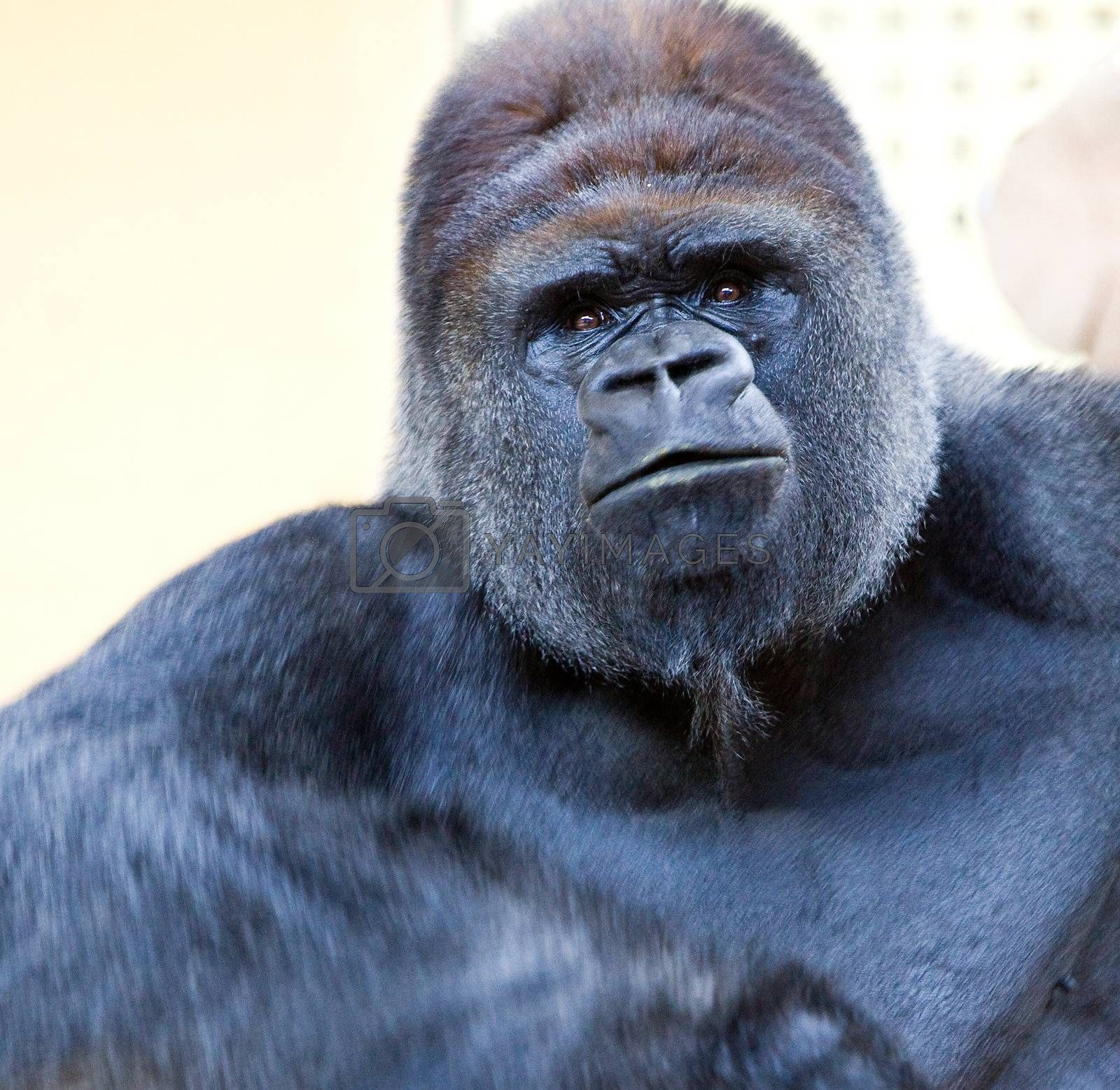 image of a big male silverback gorilla with some expressions